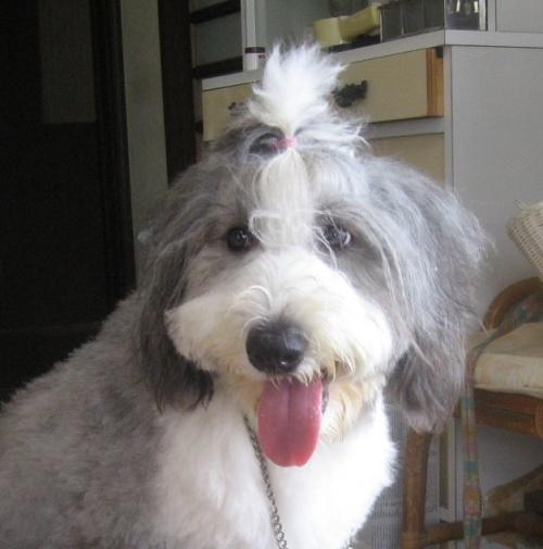 オールドイングリッシュシープドッグの子犬(ID:1253911043)の3枚目の写真/更新日:2018-05-10