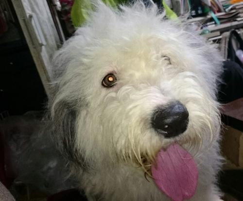 オールドイングリッシュシープドッグの子犬(ID:1253911043)の5枚目の写真/更新日:2018-05-08