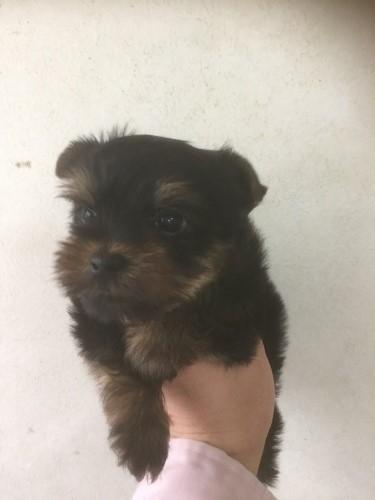 ヨークシャーテリアの子犬(ID:1254011060)の1枚目の写真/更新日:2017-03-08