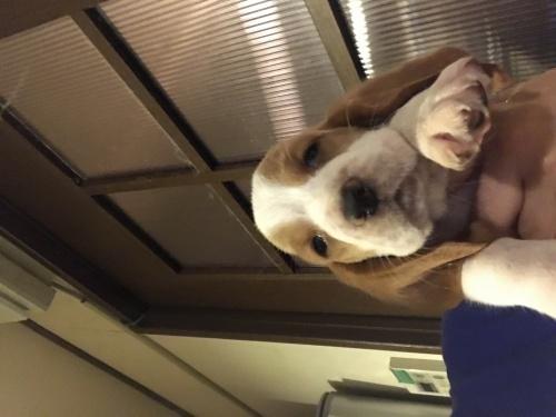 バセットハウンドの子犬(ID:1254011068)の1枚目の写真/更新日:2018-08-16