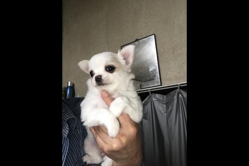 チワワ(ロング)の子犬(ID:1254011069)の1枚目の写真/更新日:2019-03-19