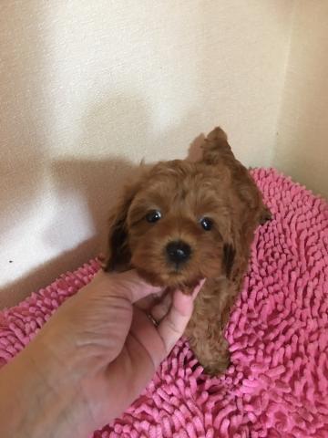 トイプードルの子犬(ID:1254111001)の1枚目の写真/更新日:2019-07-06