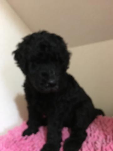 スタンダードプードルの子犬(ID:1254111002)の1枚目の写真/更新日:2019-07-29
