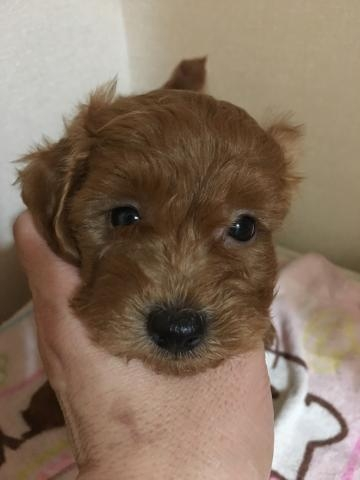 トイプードルの子犬(ID:1254111003)の1枚目の写真/更新日:2019-07-29
