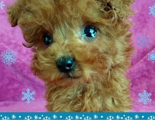 トイプードルの子犬(ID:1254211001)の1枚目の写真/更新日:2018-07-12