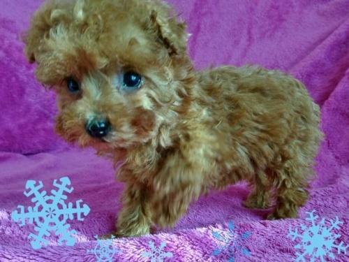 トイプードルの子犬(ID:1254211001)の3枚目の写真/更新日:2018-07-12