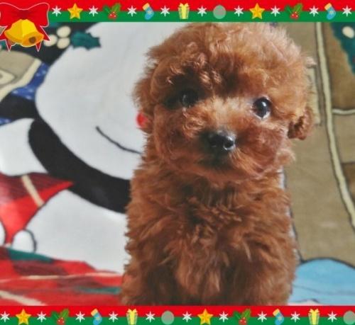 トイプードルの子犬(ID:1254211002)の1枚目の写真/更新日:2018-07-12