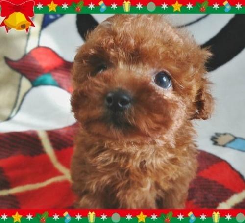 トイプードルの子犬(ID:1254211002)の2枚目の写真/更新日:2018-07-12