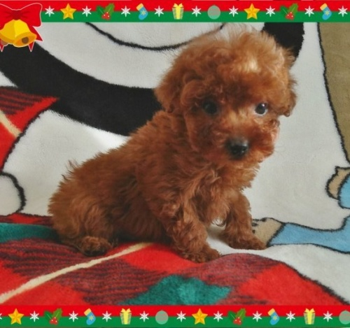 トイプードルの子犬(ID:1254211002)の3枚目の写真/更新日:2018-07-12