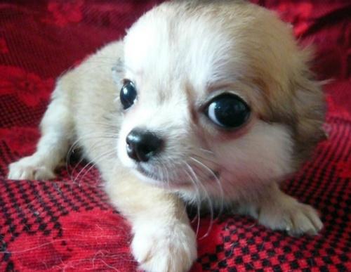 チワワ(ロング)の子犬(ID:1254211008)の1枚目の写真/更新日:2018-07-26