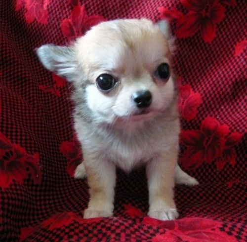 チワワ(ロング)の子犬(ID:1254211008)の3枚目の写真/更新日:2018-07-26