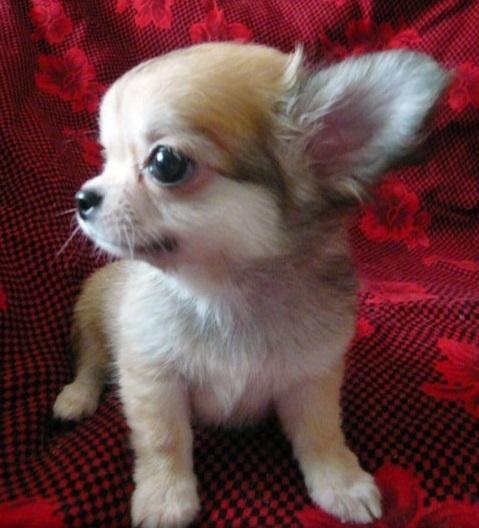 チワワ(ロング)の子犬(ID:1254211008)の4枚目の写真/更新日:2018-07-26