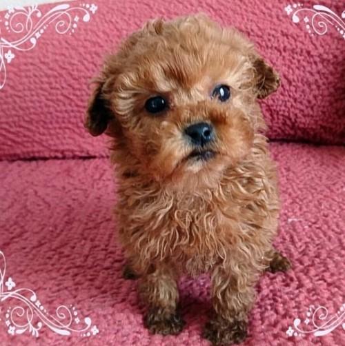 トイプードルの子犬(ID:1254211025)の1枚目の写真/更新日:2018-07-12