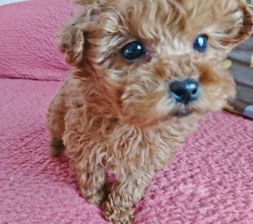 トイプードルの子犬(ID:1254211025)の2枚目の写真/更新日:2018-07-12