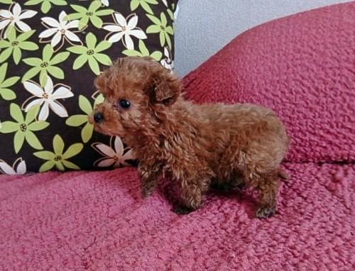 トイプードルの子犬(ID:1254211025)の4枚目の写真/更新日:2018-07-12