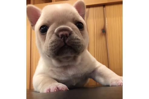 フレンチブルドッグの子犬(ID:1254311007)の3枚目の写真/更新日:2021-05-01