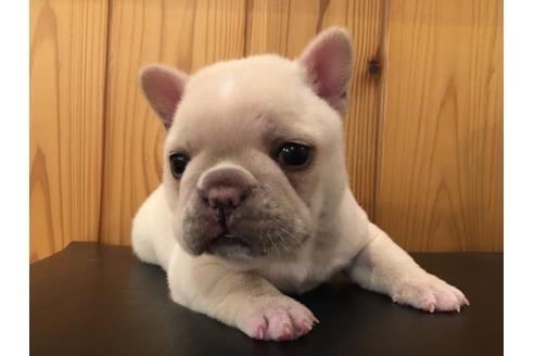 フレンチブルドッグの子犬(ID:1254311007)の4枚目の写真/更新日:2021-05-01