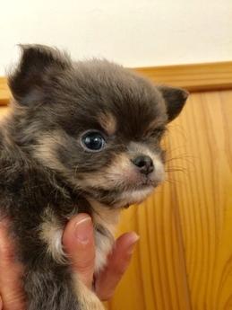 チワワ(ロング)の子犬(ID:1254311009)の2枚目の写真/更新日:2018-12-30