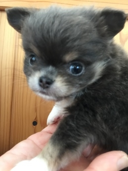 チワワ(ロング)の子犬(ID:1254311009)の3枚目の写真/更新日:2018-12-30