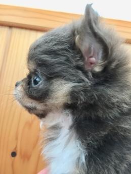 チワワ(ロング)の子犬(ID:1254311009)の4枚目の写真/更新日:2018-12-30