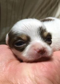 チワワ(ロング)の子犬(ID:1254311010)の1枚目の写真/更新日:2018-05-28