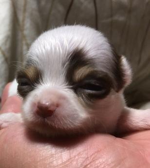 チワワ(ロング)の子犬(ID:1254311010)の2枚目の写真/更新日:2018-05-28