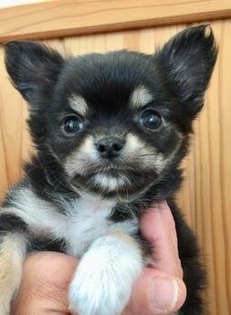 チワワ(ロング)の子犬(ID:1254311017)の1枚目の写真/更新日:2018-12-30