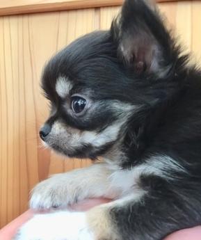 チワワ(ロング)の子犬(ID:1254311017)の2枚目の写真/更新日:2018-12-30