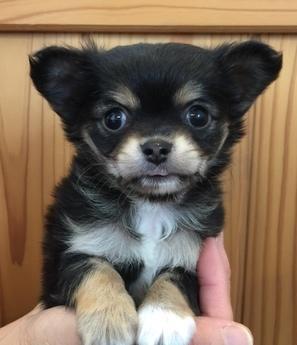 チワワ(ロング)の子犬(ID:1254311018)の1枚目の写真/更新日:2018-12-30