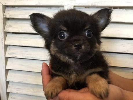 チワワ(ロング)の子犬(ID:1254311023)の1枚目の写真/更新日:2018-06-25