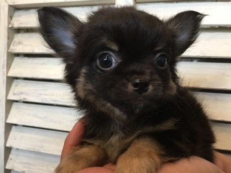 チワワ(ロング)の子犬(ID:1254311023)の3枚目の写真/更新日:2018-05-28