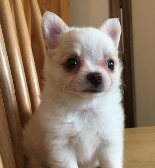 チワワ(ロング)の子犬(ID:1254311025)の1枚目の写真/更新日:2018-10-02