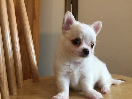チワワ(ロング)の子犬(ID:1254311025)の2枚目の写真/更新日:2018-05-28
