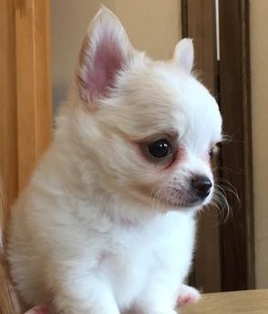 チワワ(ロング)の子犬(ID:1254311025)の3枚目の写真/更新日:2018-10-02