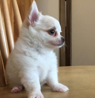 チワワ(ロング)の子犬(ID:1254311025)の4枚目の写真/更新日:2018-10-02
