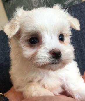 マルチーズの子犬(ID:1254311028)の1枚目の写真/更新日:2018-07-13