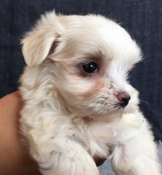 マルチーズの子犬(ID:1254311028)の2枚目の写真/更新日:2018-07-13