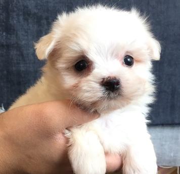 マルチーズの子犬(ID:1254311029)の1枚目の写真/更新日:2018-07-13