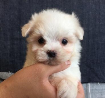 マルチーズの子犬(ID:1254311029)の2枚目の写真/更新日:2018-07-13