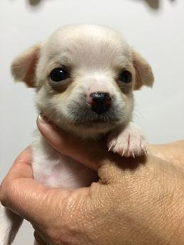 チワワ(スムース)の子犬(ID:1254311034)の1枚目の写真/更新日:2019-03-15