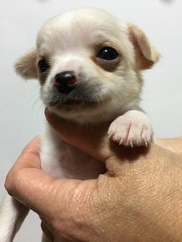 チワワ(スムース)の子犬(ID:1254311034)の2枚目の写真/更新日:2019-03-15