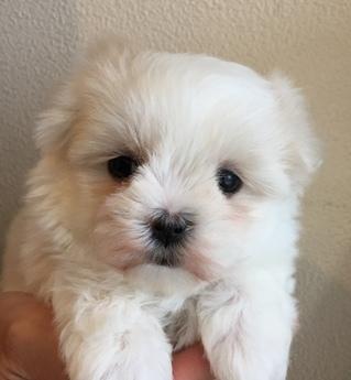 マルチーズの子犬(ID:1254311039)の1枚目の写真/更新日:2019-03-06