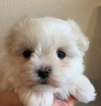 マルチーズの子犬(ID:1254311039)の2枚目の写真/更新日:2019-03-06