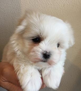 マルチーズの子犬(ID:1254311039)の3枚目の写真/更新日:2019-03-06