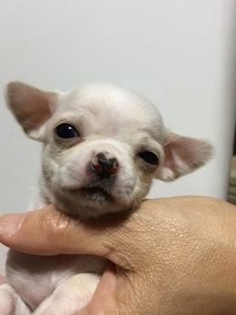 チワワ(スムース)の子犬(ID:1254311046)の1枚目の写真/更新日:2019-03-15