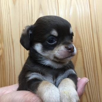 チワワ(スムース)の子犬(ID:1254311049)の2枚目の写真/更新日:2020-03-27