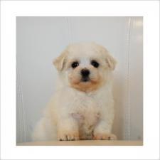 マルチーズの子犬(ID:1254311058)の1枚目の写真/更新日:2016-09-23
