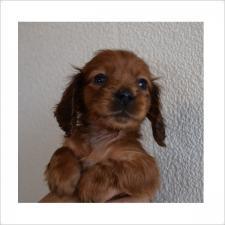 ミニチュアダックスフンド(ロング)の子犬(ID:1254311060)の1枚目の写真/更新日:2016-12-06