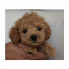 トイプードルの子犬(ID:1254311061)の1枚目の写真/更新日:2016-12-26