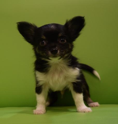 チワワ(ロング)の子犬(ID:1254311063)の1枚目の写真/更新日:2017-01-19